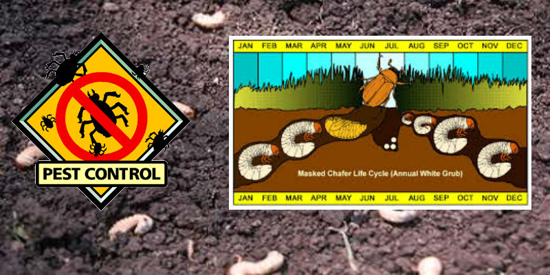 White Grubs Insect Control