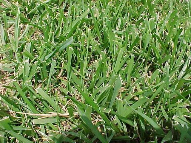 crabgrass control in Iowa lawns