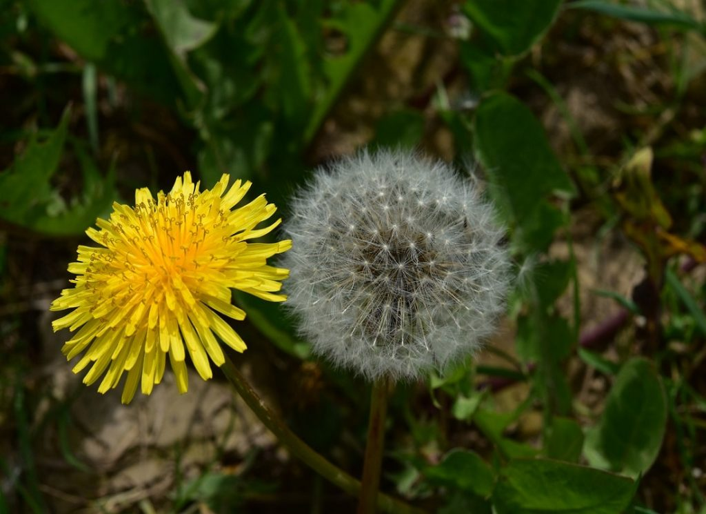 Dandelion Facts