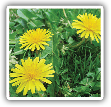 how to eliminate lawn dandelions