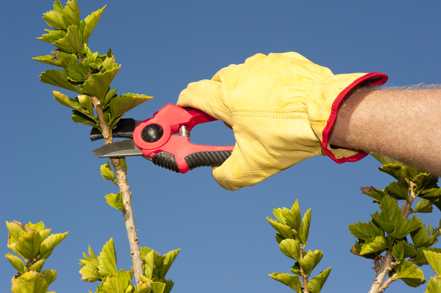 Pruning Trees or Shrubs