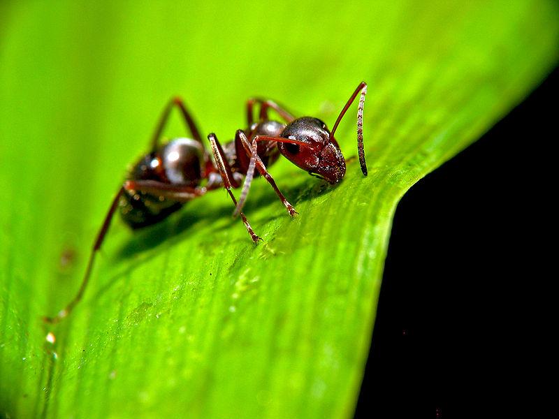 800px-Ant_on_leaf