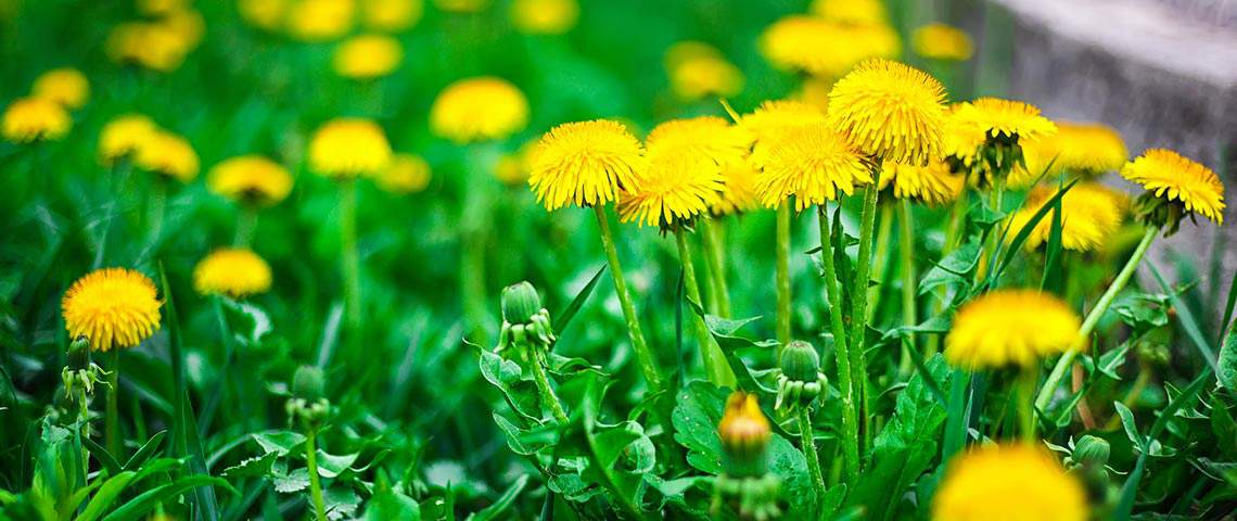 h-yellow-dandelion-flower