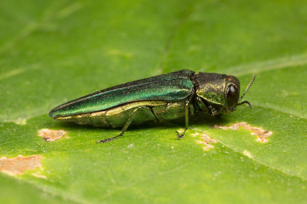 Ash Borer Beetles