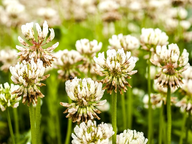 Controlling White Clover