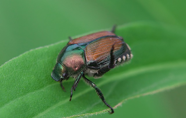 How to Control Japanese Beetles